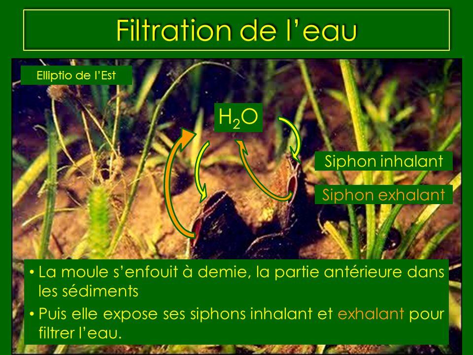 Filtration de leau La moule senfouit à demie, la partie antérieure dans les sédiments Puis elle expose ses siphons inhalant et exhalant pour filtrer l