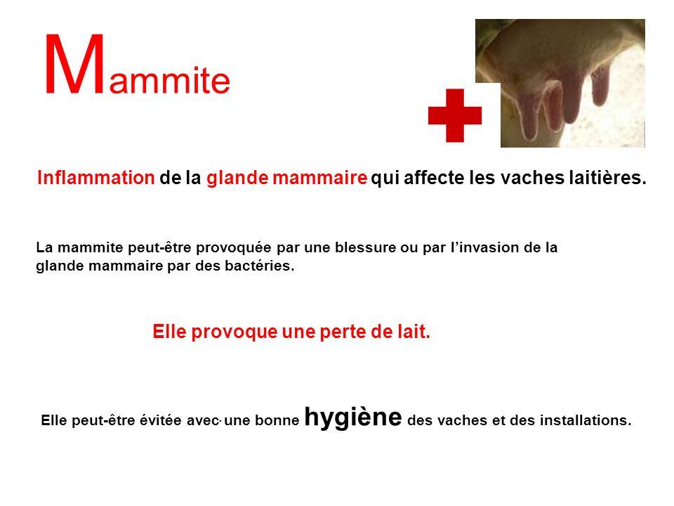 M ammite. Inflammation de la glande mammaire qui affecte les vaches laitières. Elle peut-être évitée avec une bonne hygiène des vaches et des installa