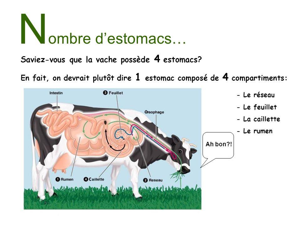 N ombre destomacs… Saviez-vous que la vache possède 4 estomacs? En fait, on devrait plutôt dire 1 estomac composé de 4 compartiments: - Le réseau - Le