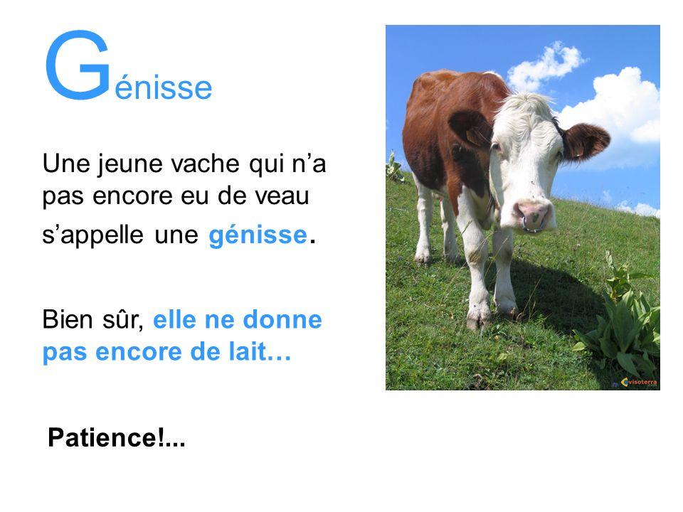 G énisse Une jeune vache qui na pas encore eu de veau sappelle une génisse. Bien sûr, elle ne donne pas encore de lait… Patience!...
