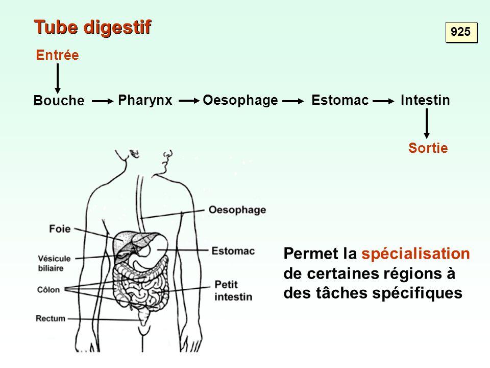 Tube digestif 925 Permet la spécialisation de certaines régions à des tâches spécifiques Bouche PharynxOesophageEstomacIntestin Sortie Entrée