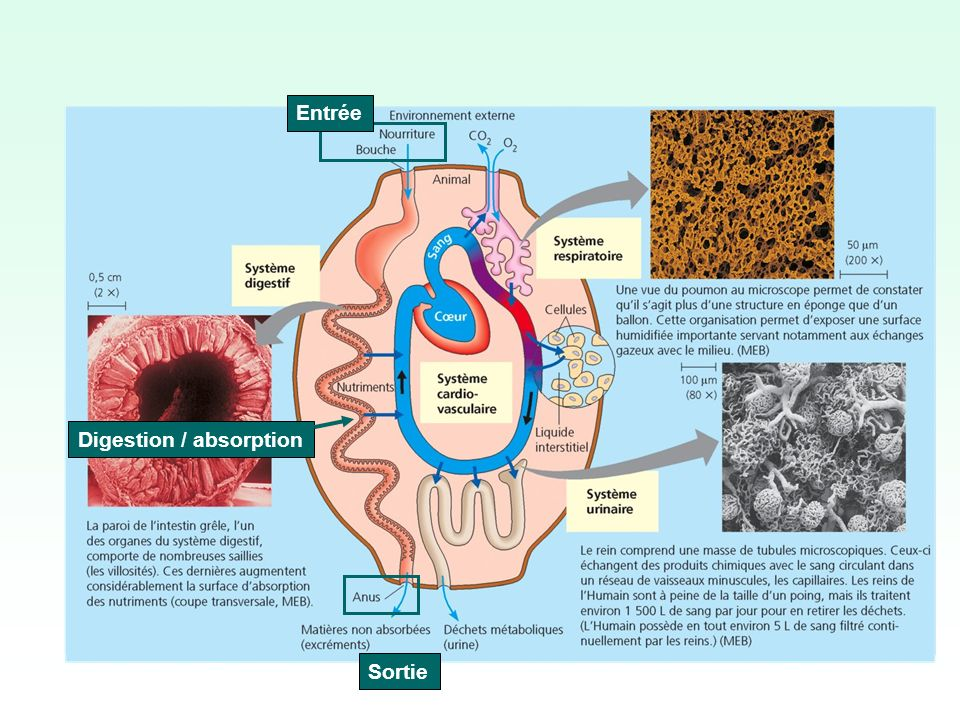 Sortie Digestion / absorption