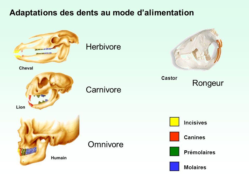 Adaptations des dents au mode dalimentation Incisives Molaires Prémolaires Canines Herbivore Carnivore Omnivore Rongeur Castor