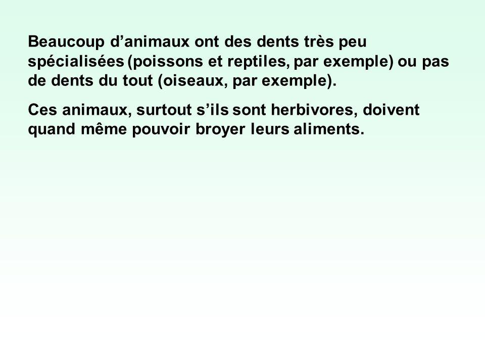 Beaucoup danimaux ont des dents très peu spécialisées (poissons et reptiles, par exemple) ou pas de dents du tout (oiseaux, par exemple). Ces animaux,