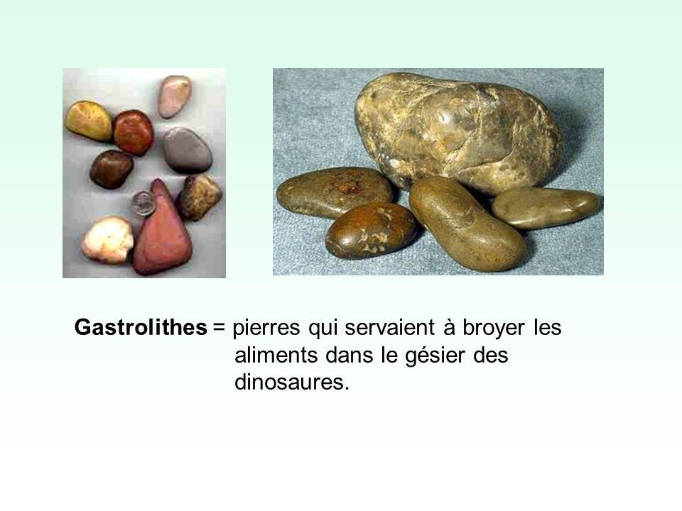 Gastrolithes = pierres qui servaient à broyer les aliments dans le gésier des dinosaures.