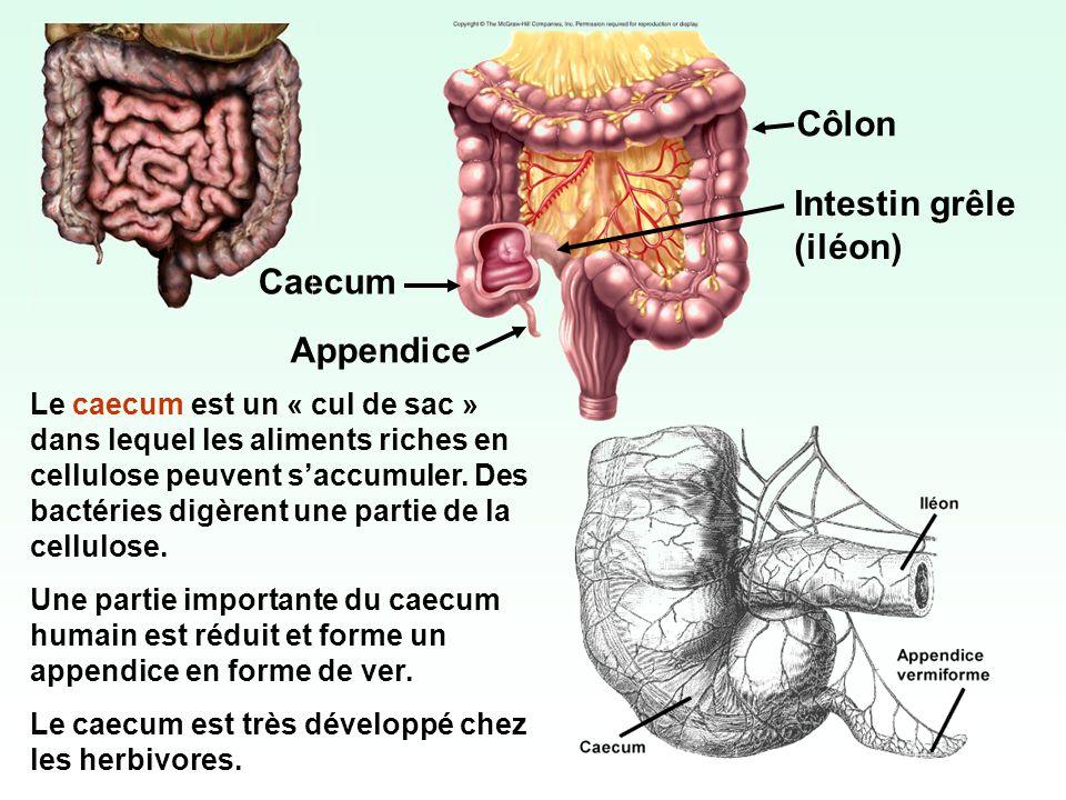 Côlon Intestin grêle (iléon) Caecum Appendice Le caecum est un « cul de sac » dans lequel les aliments riches en cellulose peuvent saccumuler. Des bac