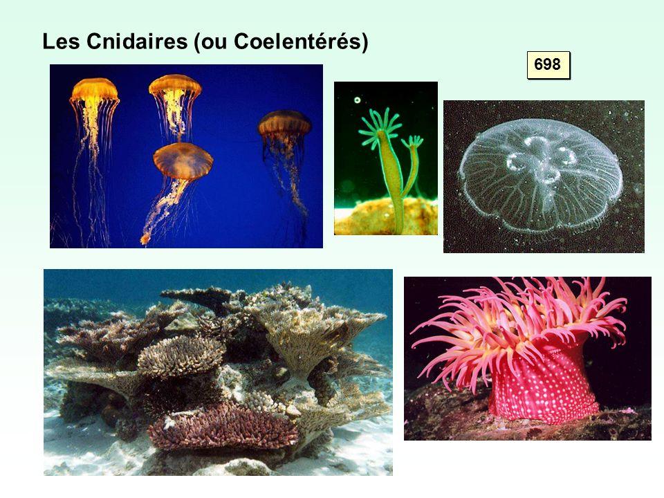 Les Cnidaires (ou Coelentérés) 698