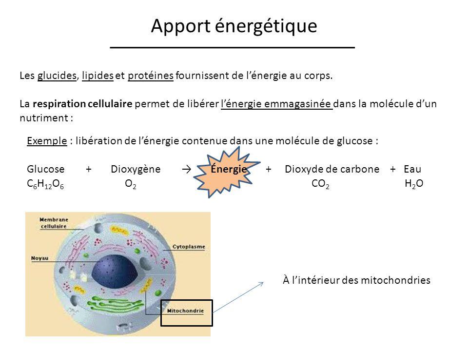 Apport énergétique Les glucides, lipides et protéines fournissent de lénergie au corps. La respiration cellulaire permet de libérer lénergie emmagasin