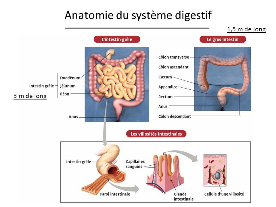 Anatomie du système digestif 3 m de long 1,5 m de long