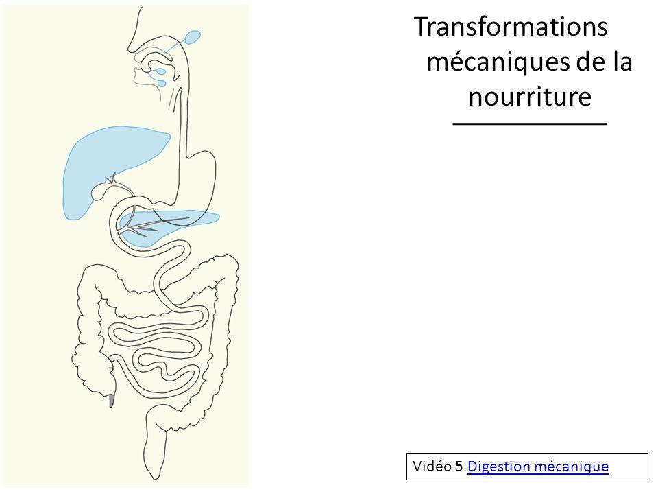 Transformations mécaniques de la nourriture Vidéo 5 Digestion mécaniqueDigestion mécanique
