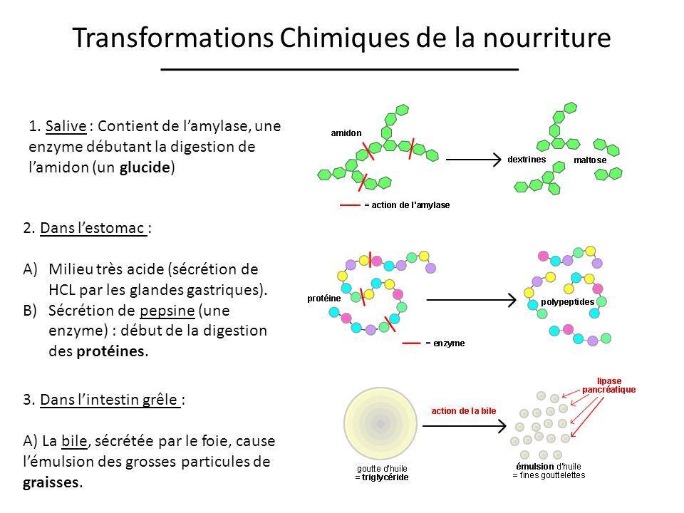 Transformations Chimiques de la nourriture 1. Salive : Contient de lamylase, une enzyme débutant la digestion de lamidon (un glucide) 2. Dans lestomac