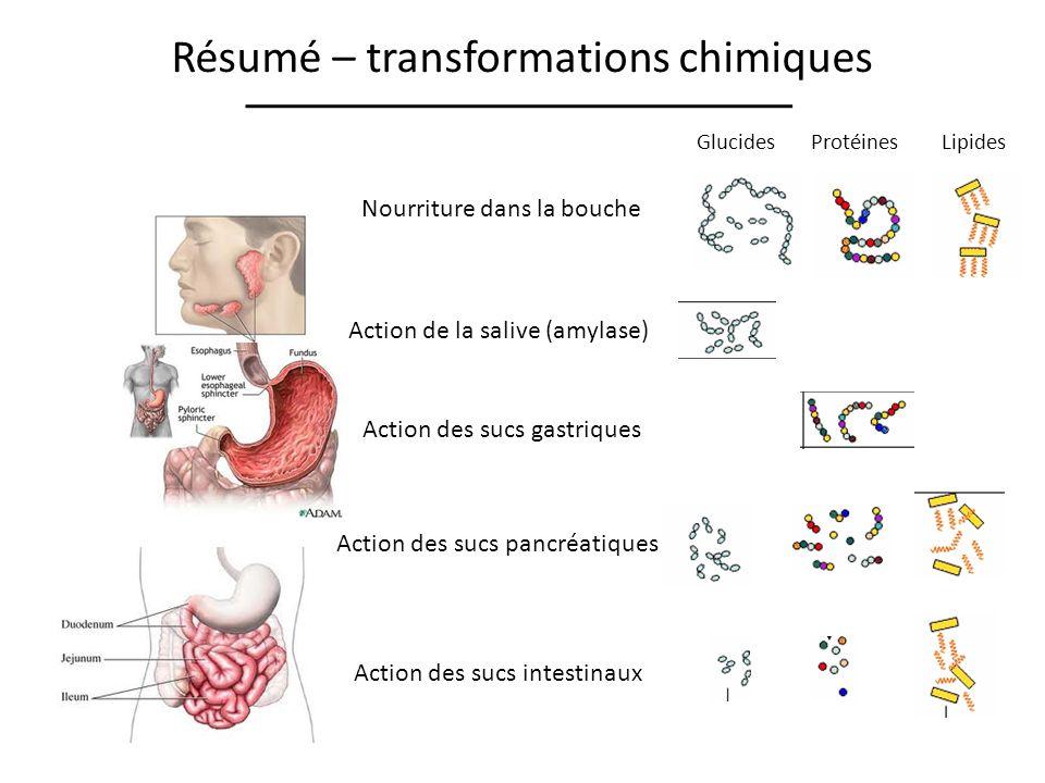 Résumé – transformations chimiques Nourriture dans la bouche Action de la salive (amylase) Action des sucs gastriques Action des sucs pancréatiques Ac