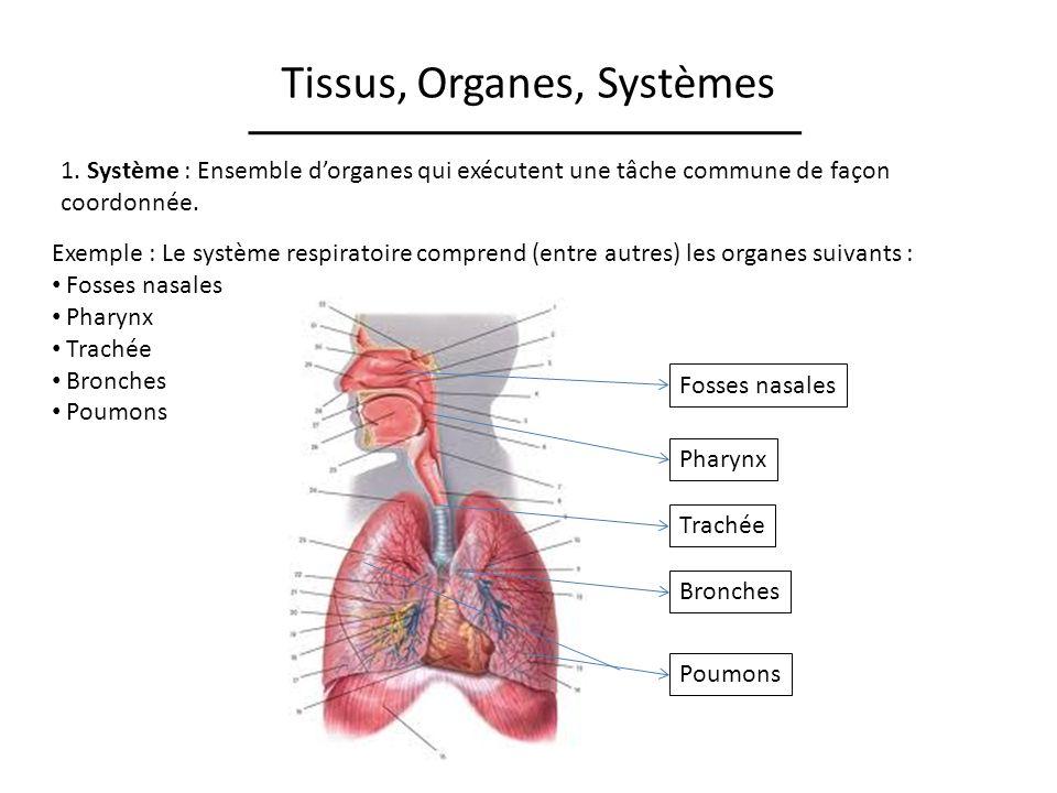 Tissus, Organes, Systèmes 1. Système : Ensemble dorganes qui exécutent une tâche commune de façon coordonnée. Exemple : Le système respiratoire compre