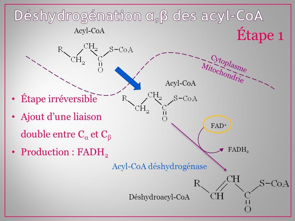 Mitochondrie Cytoplasme FAD + FADH 2 Acyl-CoA Étape 1 Acyl-CoA déshydrogénase Déshydroacyl-CoA Acyl-CoA Étape irréversible Ajout dune liaison double e