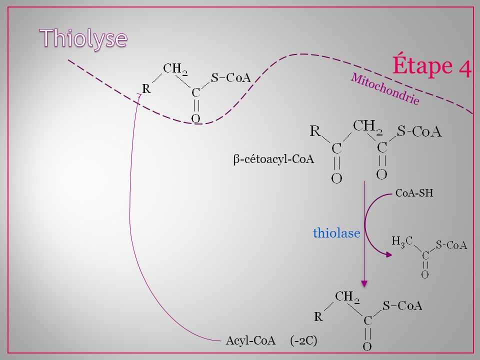 Mitochondrie Étape 4 thiolase CoA-SH β-cétoacyl-CoA Acyl-CoA (-2C)