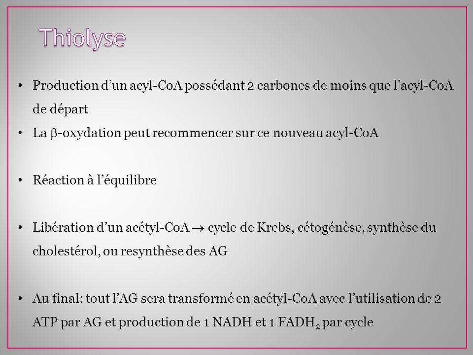 Production dun acyl-CoA possédant 2 carbones de moins que lacyl-CoA de départ La -oxydation peut recommencer sur ce nouveau acyl-CoA Réaction à léquil