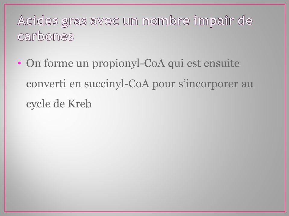 On forme un propionyl-CoA qui est ensuite converti en succinyl-CoA pour sincorporer au cycle de Kreb