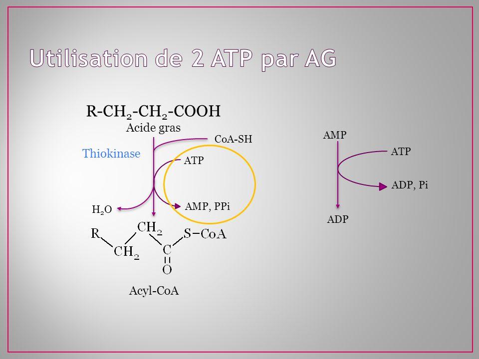 R-CH 2 -CH 2 -COOH Acide gras ATP AMP, PPi CoA-SH H2OH2O Thiokinase Acyl-CoA AMP ATP ADP, Pi ADP