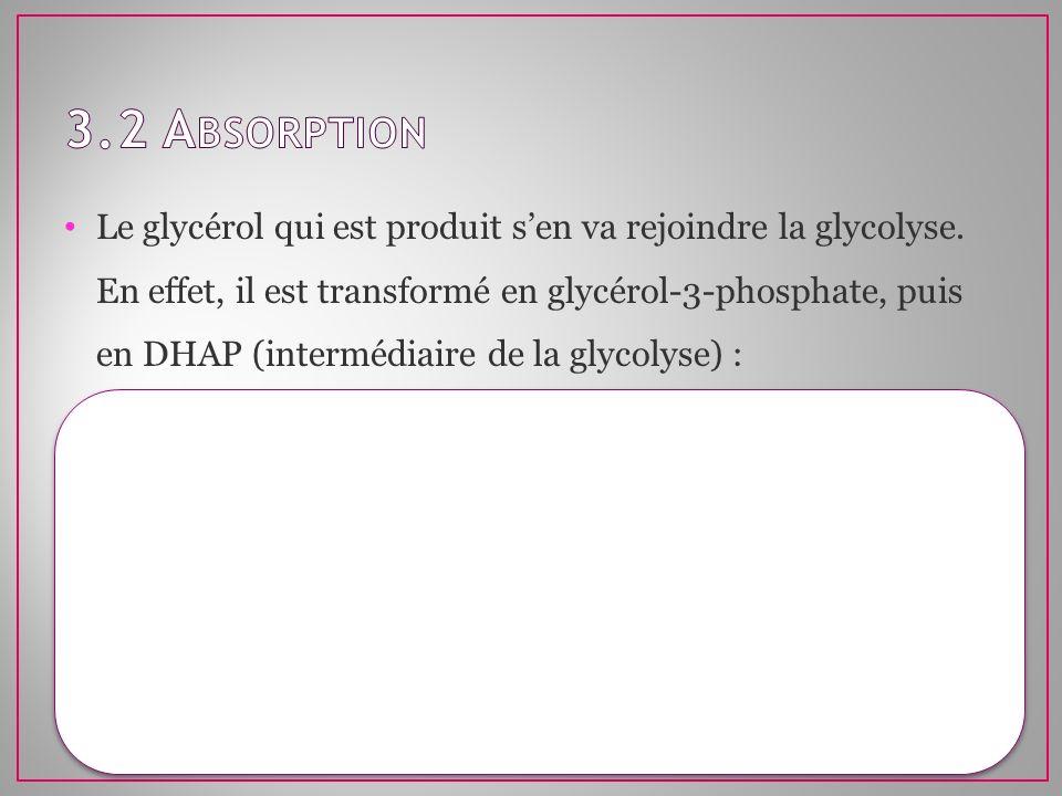 Le glycérol qui est produit sen va rejoindre la glycolyse. En effet, il est transformé en glycérol-3-phosphate, puis en DHAP (intermédiaire de la glyc