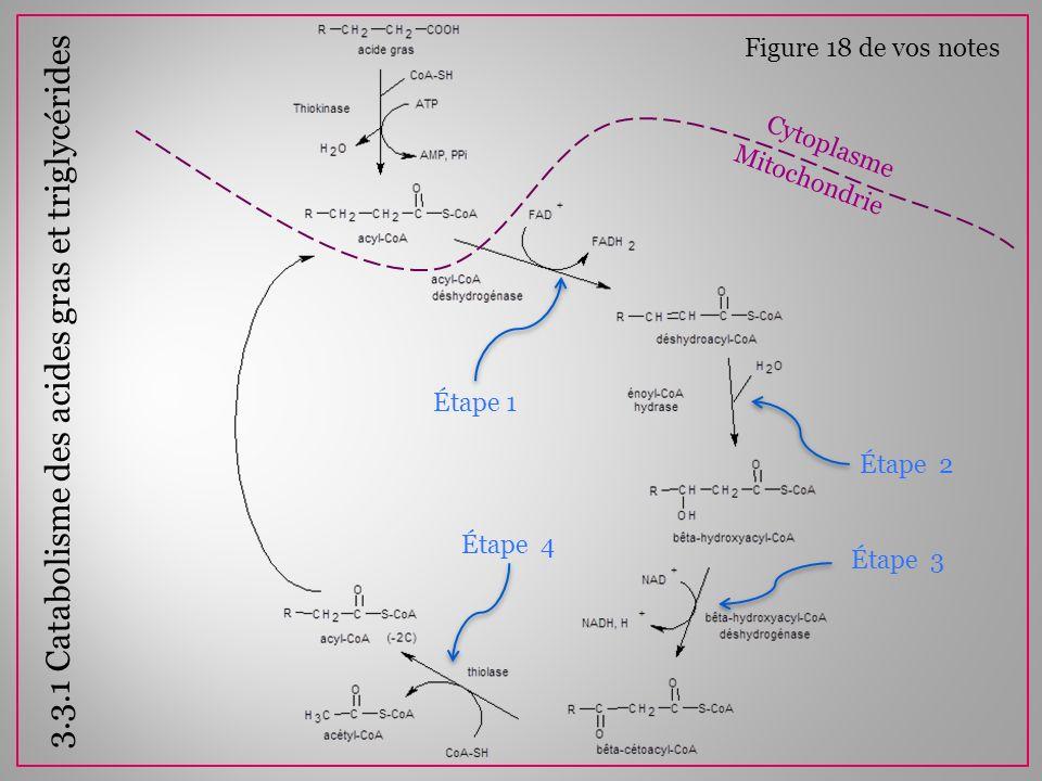 À chaque tour, on produit 1 NADH et 1 FADH 2 Chaine de transport des électrons: NADH 3 ATP F FADH 2 2 ATP Il ne faut pas oublier de soustraire 2 ATP par molécule dAG