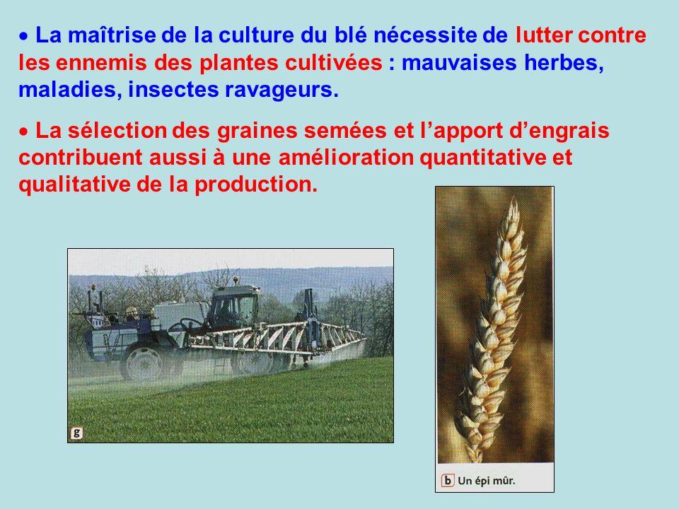 La maîtrise de la culture du blé nécessite de lutter contre les ennemis des plantes cultivées : mauvaises herbes, maladies, insectes ravageurs. La sél