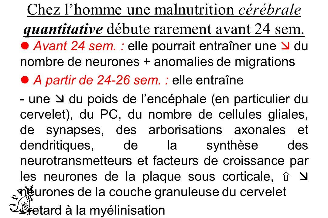 Chez lhomme une malnutrition cérébrale quantitative débute rarement avant 24 sem. Avant 24 sem. : elle pourrait entraîner une du nombre de neurones +