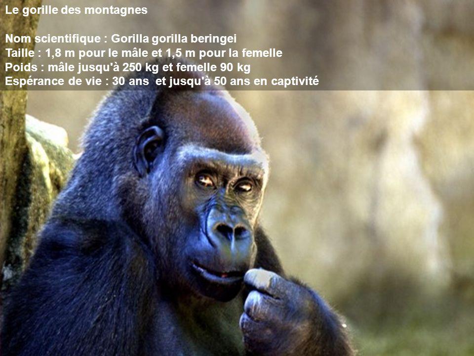 Le gorille des montagnes Nom scientifique : Gorilla gorilla beringei Taille : 1,8 m pour le mâle et 1,5 m pour la femelle Poids : mâle jusqu'à 250 kg