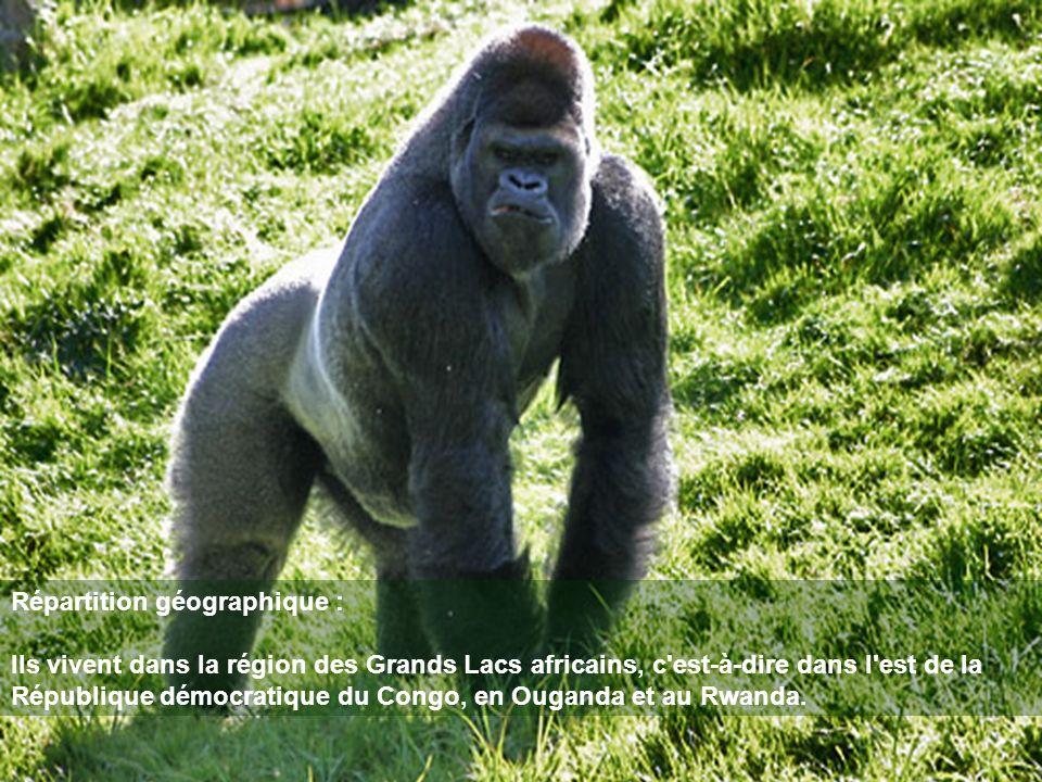Répartition géographique : Ils vivent dans la région des Grands Lacs africains, c'est-à-dire dans l'est de la République démocratique du Congo, en Oug