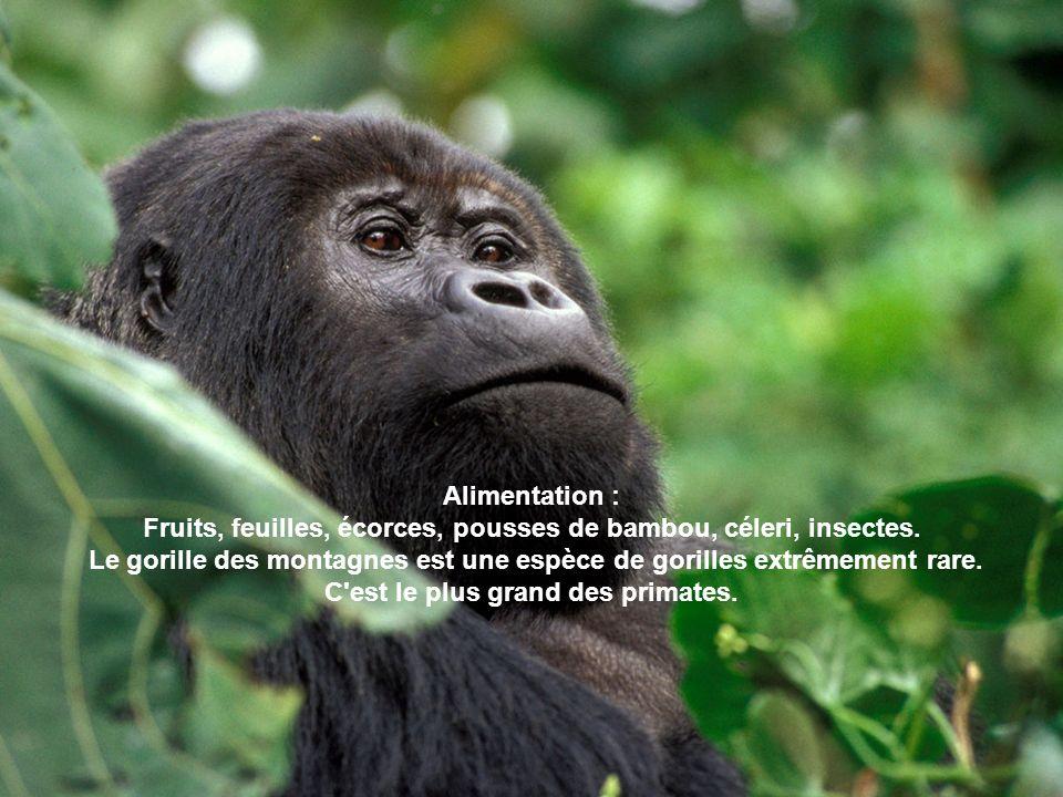 Alimentation : Fruits, feuilles, écorces, pousses de bambou, céleri, insectes. Le gorille des montagnes est une espèce de gorilles extrêmement rare. C