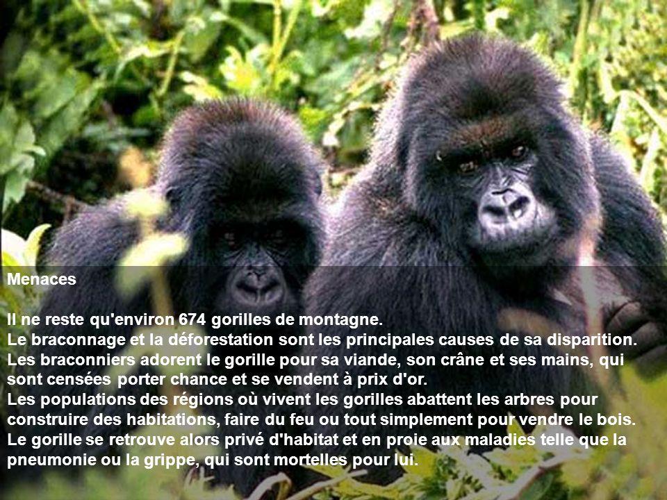 Menaces Il ne reste qu'environ 674 gorilles de montagne. Le braconnage et la déforestation sont les principales causes de sa disparition. Les braconni