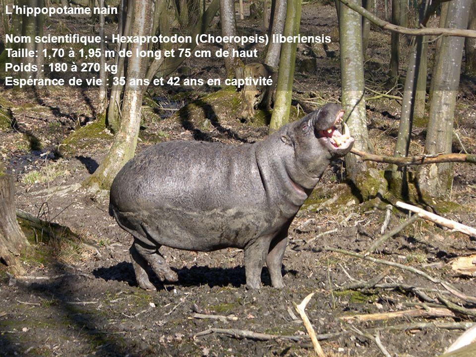 L'hippopotame nain Nom scientifique : Hexaprotodon (Choeropsis) liberiensis Taille: 1,70 à 1,95 m de long et 75 cm de haut Poids : 180 à 270 kg Espéra