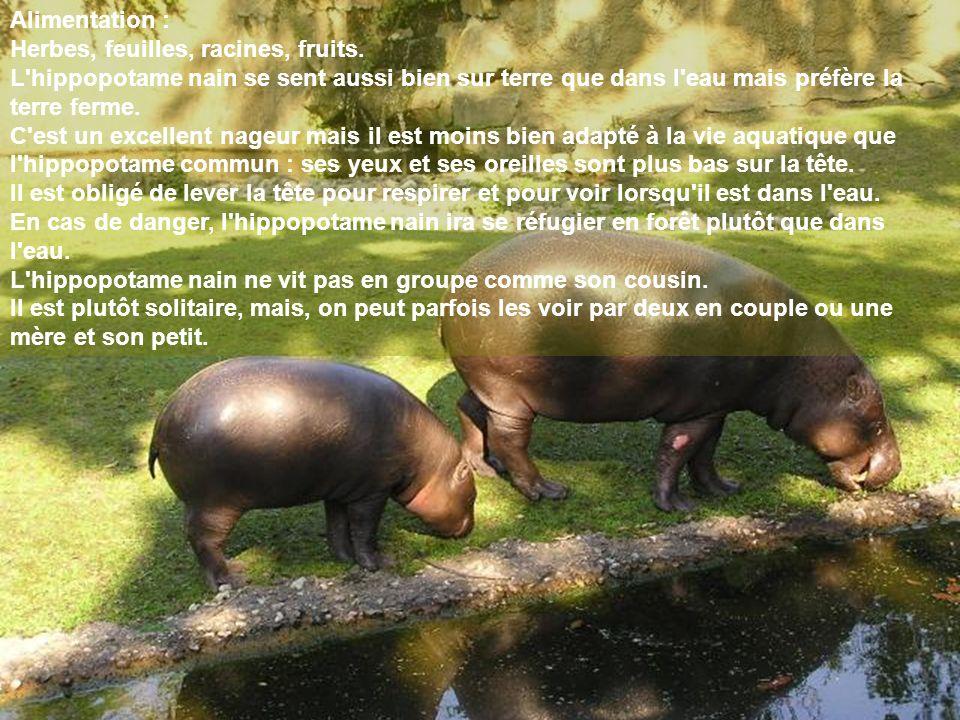 Alimentation : Herbes, feuilles, racines, fruits. L'hippopotame nain se sent aussi bien sur terre que dans l'eau mais préfère la terre ferme. C'est un