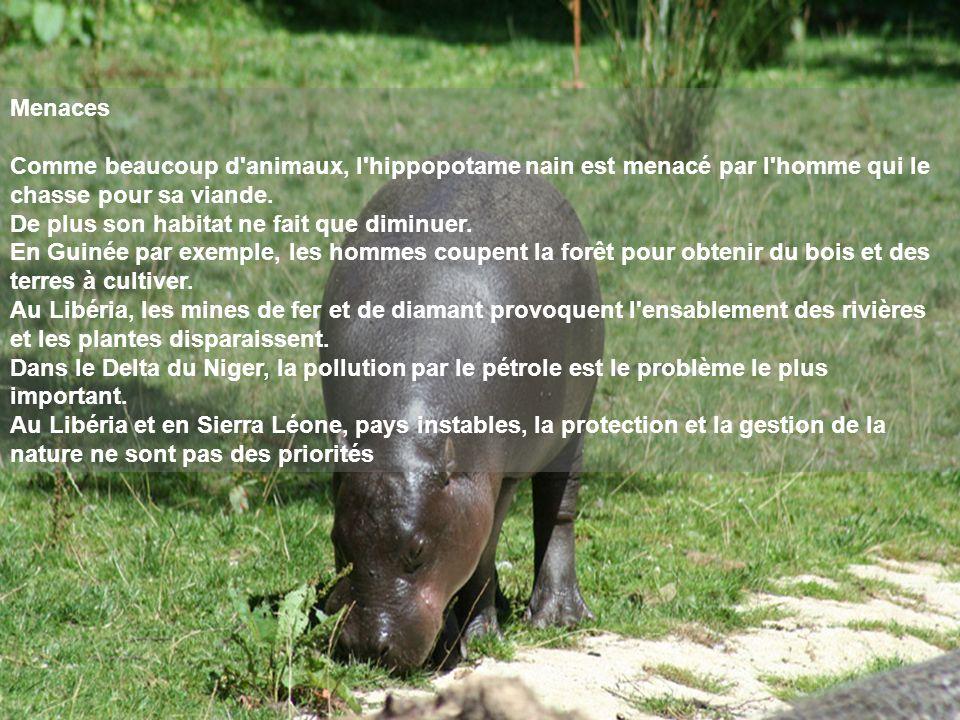 Menaces Comme beaucoup d'animaux, l'hippopotame nain est menacé par l'homme qui le chasse pour sa viande. De plus son habitat ne fait que diminuer. En