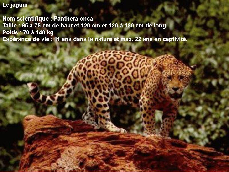 Le jaguar Nom scientifique : Panthera onca Taille : 65 à 75 cm de haut et 120 cm et 120 à 180 cm de long Poids : 70 à 140 kg Espérance de vie : 11 ans