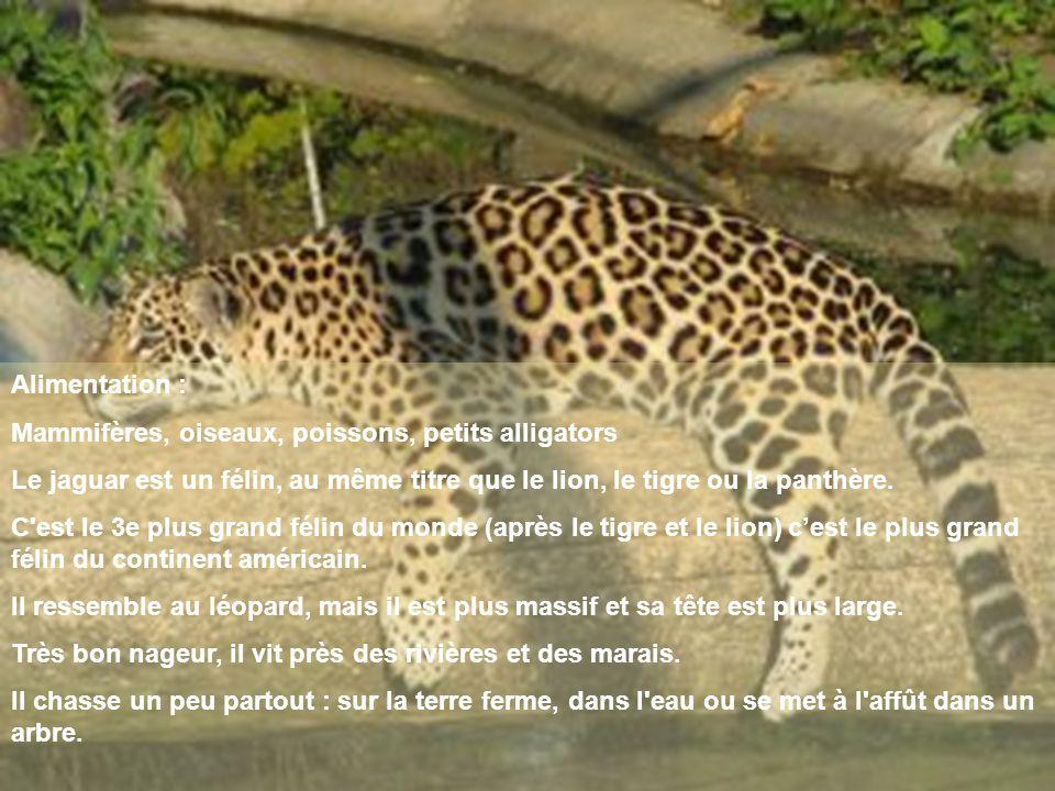 Alimentation : Mammifères, oiseaux, poissons, petits alligators Le jaguar est un félin, au même titre que le lion, le tigre ou la panthère. C'est le 3
