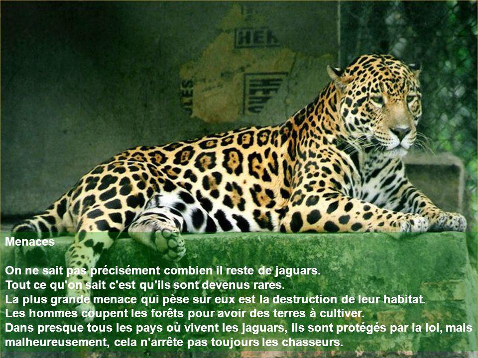 Menaces On ne sait pas précisément combien il reste de jaguars. Tout ce qu'on sait c'est qu'ils sont devenus rares. La plus grande menace qui pèse sur