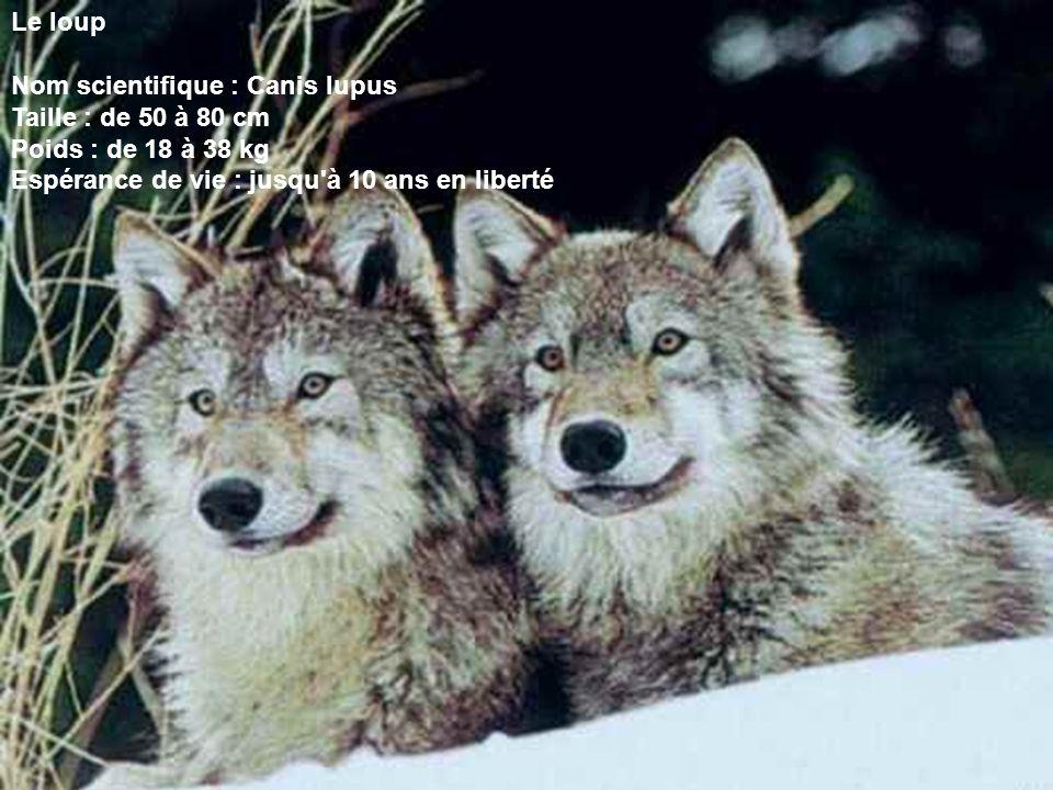 Le loup Nom scientifique : Canis lupus Taille : de 50 à 80 cm Poids : de 18 à 38 kg Espérance de vie : jusqu'à 10 ans en liberté