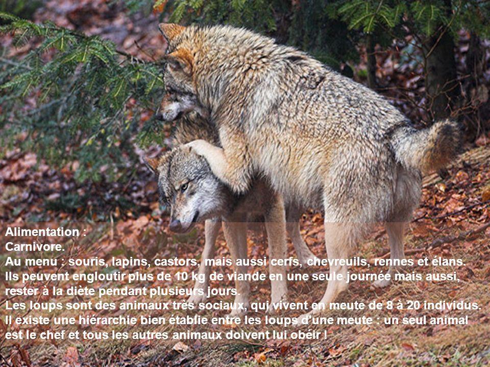 Alimentation : Carnivore. Au menu : souris, lapins, castors, mais aussi cerfs, chevreuils, rennes et élans. Ils peuvent engloutir plus de 10 kg de via