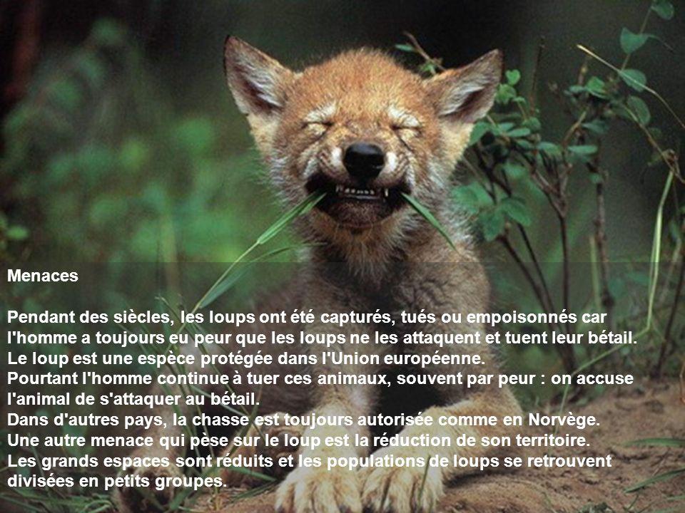 Menaces Pendant des siècles, les loups ont été capturés, tués ou empoisonnés car l'homme a toujours eu peur que les loups ne les attaquent et tuent le