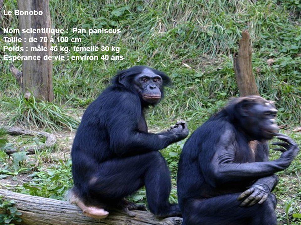 Le Bonobo Nom scientifique : Pan paniscus Taille : de 70 à 100 cm Poids : mâle 45 kg, femelle 30 kg Espérance de vie : environ 40 ans