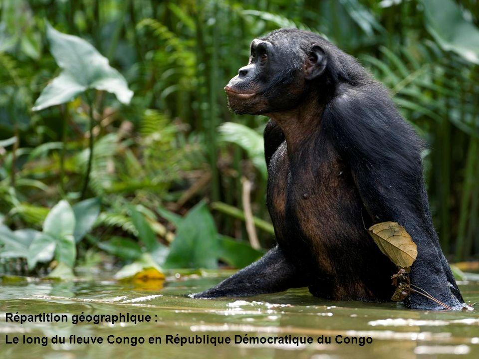 Alimentation : Plantes, graines, écorces, fruits, jeunes pousses et invertébrés Aussi appelé le chimpanzé pygmée, le bonobo se distingue de son cousin le chimpanzé commun par : un crâne plus petit et plus arrondi, un corps plus fin et des membres plus longs.