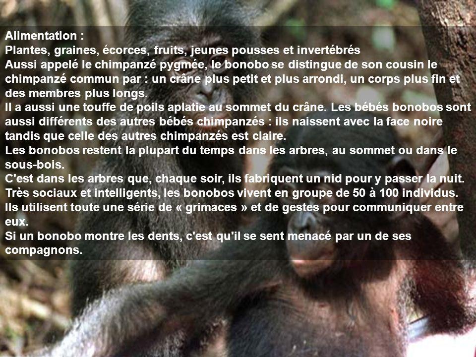 Alimentation : Plantes, graines, écorces, fruits, jeunes pousses et invertébrés Aussi appelé le chimpanzé pygmée, le bonobo se distingue de son cousin