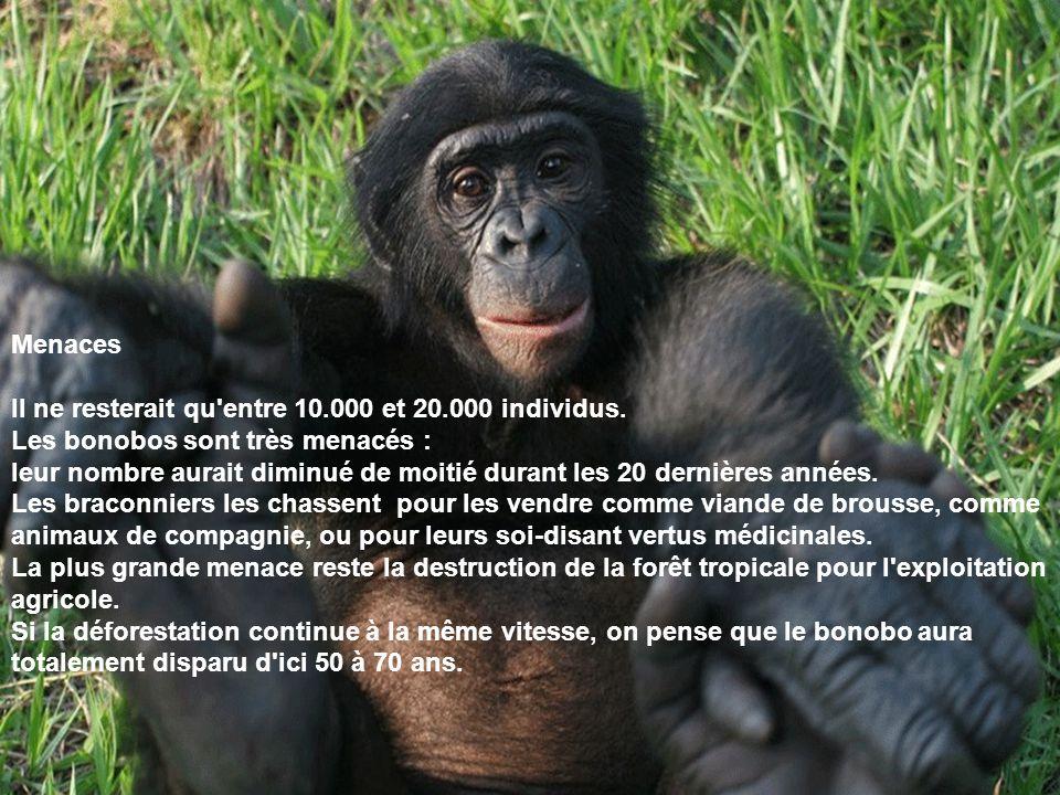 Menaces Il ne resterait qu'entre 10.000 et 20.000 individus. Les bonobos sont très menacés : leur nombre aurait diminué de moitié durant les 20 derniè