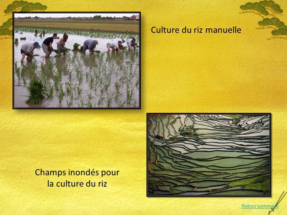 Culture du riz manuelle Champs inondés pour la culture du riz Retour sommaire