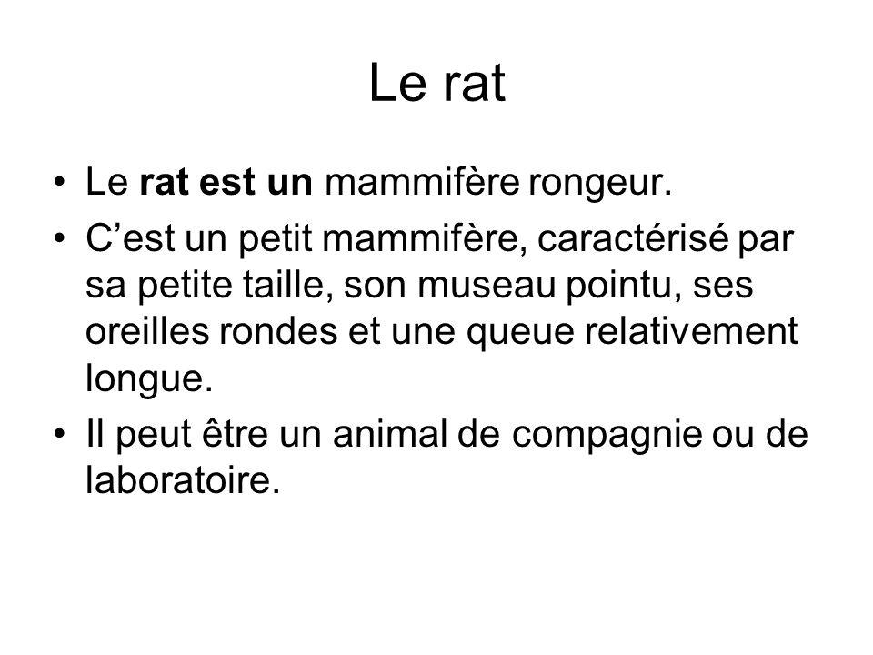 Le rat Le rat est un mammifère rongeur. Cest un petit mammifère, caractérisé par sa petite taille, son museau pointu, ses oreilles rondes et une queue