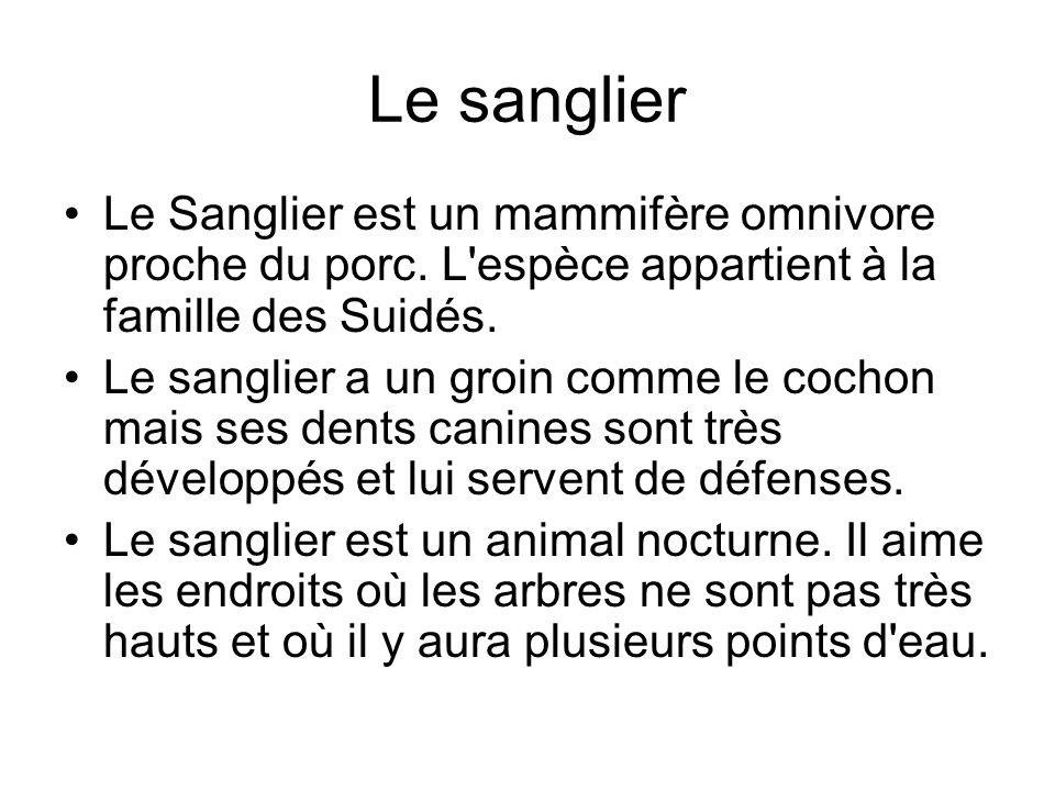 Le sanglier Le Sanglier est un mammifère omnivore proche du porc. L'espèce appartient à la famille des Suidés. Le sanglier a un groin comme le cochon