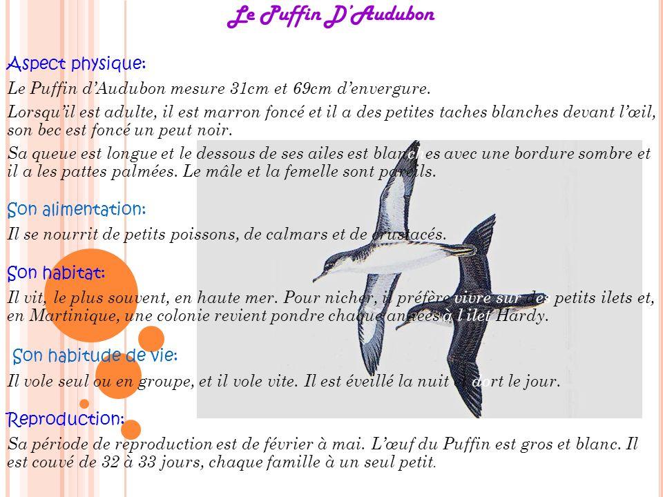 Le Puffin DAudubon Aspect physique: Le Puffin dAudubon mesure 31cm et 69cm denvergure. Lorsquil est adulte, il est marron foncé et il a des petites ta