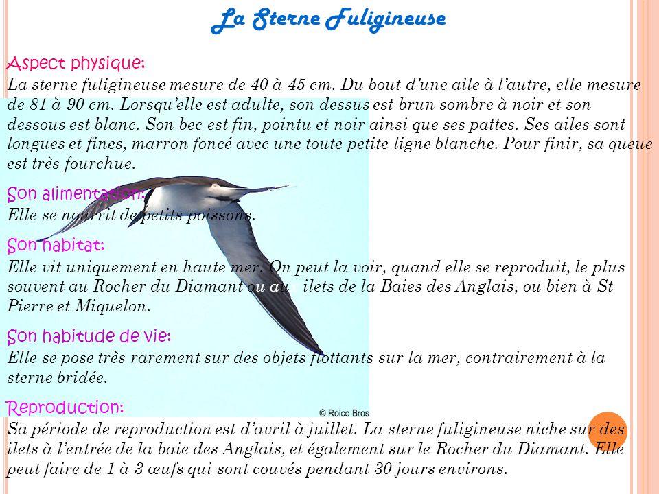 La Sterne Fuligineuse Aspect physique: La sterne fuligineuse mesure de 40 à 45 cm. Du bout dune aile à lautre, elle mesure de 81 à 90 cm. Lorsquelle e