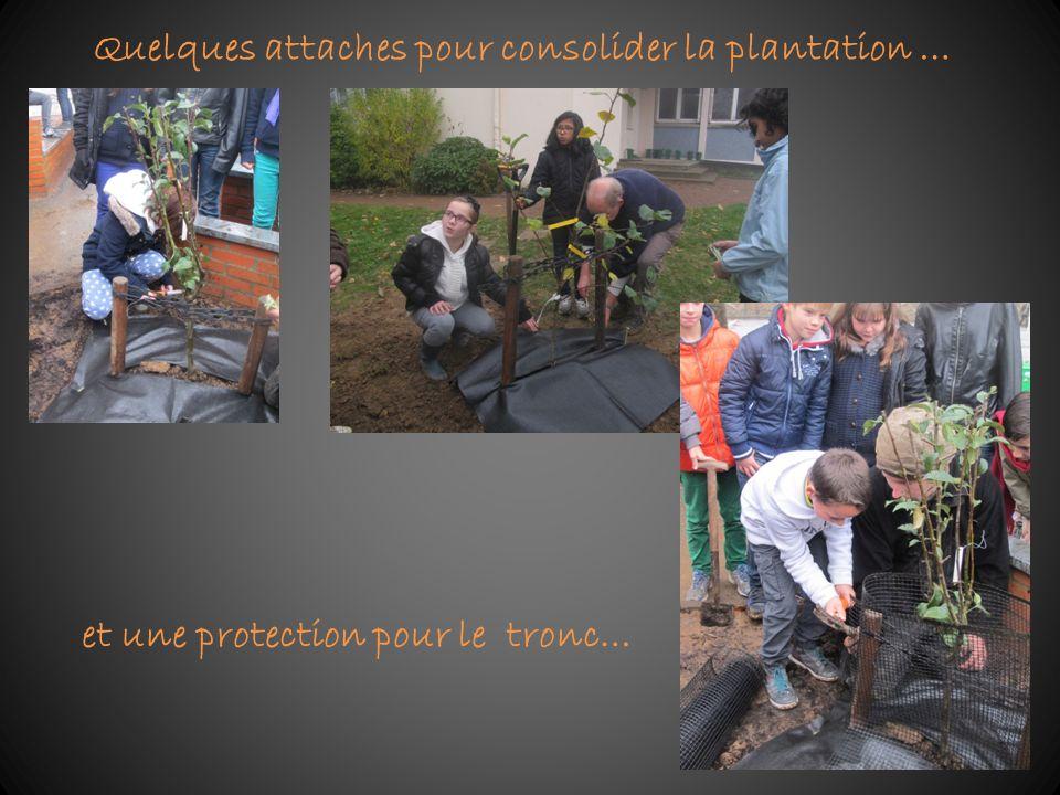 Quelques attaches pour consolider la plantation … et une protection pour le tronc…