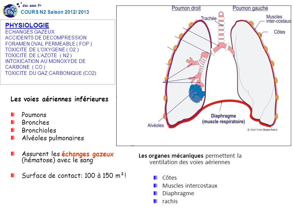 dsc.asso.fr COURS N2 Saison 2012/ 2013 Les voies aériennes inférieures Poumons Bronches Bronchioles Alvéoles pulmonaires Assurent les échanges gazeux